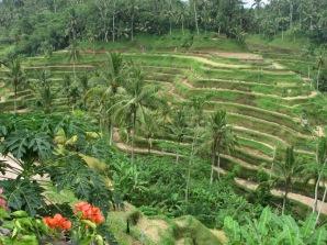 Rice_Terrace_in_Ubud